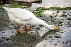 O ganso branco bebe o wate Foto de Stock Royalty Free