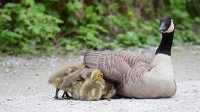 O ganso da mamã está ficando na terra Seus ganso estão tentando ir sob as asas da mamã filme