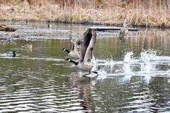 O ganso de Canadá está decolando da água imagem de stock royalty free