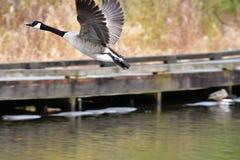 O ganso de Canadá está decolando da água imagens de stock royalty free