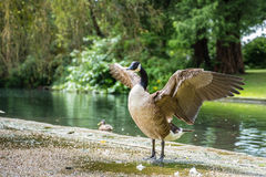 O ganso de Canadá estica sua asa Foto de Stock
