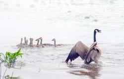 O ganso de mãe envia um aviso Imagens de Stock Royalty Free
