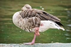 O ganso de pato bravo europeu - anser do Anser - que está em um pé e relaxa Foto de Stock