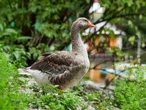 O ganso de pato bravo europeu selvagem na lagoa imagem de stock