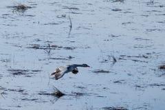 O ganso de pato bravo europeu vai dentro aterrando na água imagem de stock