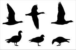 O ganso de peito encarnado mostra em silhueta o grupo do vetor ilustração royalty free