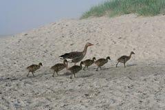 O ganso e os ganso andam na praia Imagens de Stock