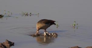 O ganso egípcio, alopochen o aegyptiacus, o adulto e o Gosling, video estoque
