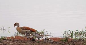 O ganso egípcio, alopochen o aegyptiacus, o adulto e o Gosling, vídeos de arquivo