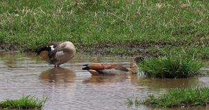 O ganso egípcio, alopochen o aegyptiacus, par que está na água, r vídeos de arquivo