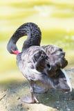 O ganso preto está na costa do lago Fotos de Stock Royalty Free