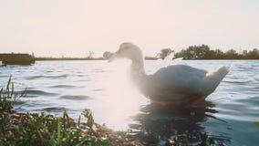 O ganso sae do lago durante o por do sol, close-up filme