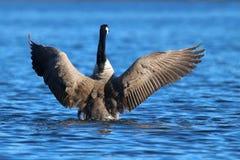 O ganso voa o flapping em um lago azul Imagens de Stock