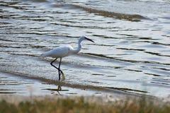 O garzetta branco pequeno do egretta está pescando no mar Imagens de Stock