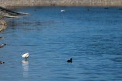 O garzetta do Egretta do egret pequeno saiu e direito euro-asiático do atra do Fulica do galeirão imagens de stock