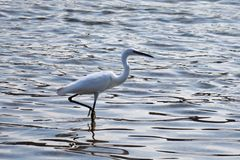 O garzetta do Egretta está pescando no mar de Adritic foto de stock