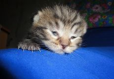 O gatinho abre os olhos Fotografia de Stock