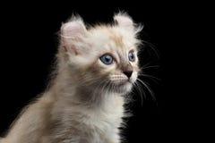 O gatinho americano bonito da onda com orelhas torcidas isolou o fundo preto Fotos de Stock