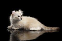 O gatinho americano bonito da onda com orelhas torcidas isolou o fundo preto Imagens de Stock Royalty Free