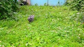 O gatinho anda ao longo da grama verde vídeos de arquivo