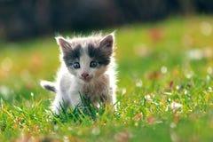 O gatinho anda no gramado com cores do outono Fotografia de Stock Royalty Free