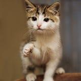 O gatinho bonito estica uma pata diz olá! Imagem de Stock Royalty Free
