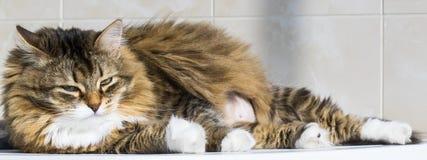 O gatinho branco marrom macio que encontra-se dentro relaxa a fêmea interna, siberian da raça imagens de stock royalty free