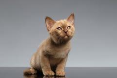 O gatinho burmese senta-se e olhando acima no cinza Fotografia de Stock