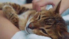 O gatinho cansado sonolento após a operação bem sucedida nas mãos da aeromoça, tratamento dos animais de estimação, gato de Benga filme