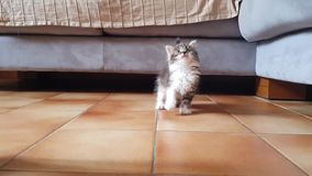 O gatinho cinzento aproxima a câmera com curiosidade e desejo jogar video estoque