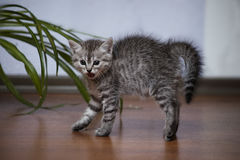 O gatinho cinzento pequeno arqueou o seu traseiro e silvado aberto-mouthed Fotografia de Stock