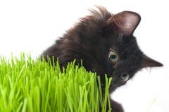O gatinho come uma grama Imagens de Stock Royalty Free