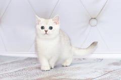 O gatinho da raça britânica vai no assoalho Coloração rara - a Fotos de Stock