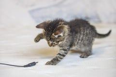 O gatinho do gato malhado joga com tomada fotografia de stock