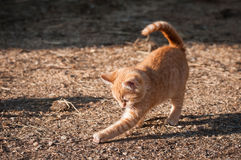O gatinho doce joga apenas Imagem de Stock