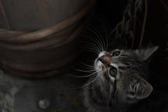 O gatinho em um fundo escuro olha acima Foto de Stock