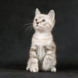 O gatinho em um preto Imagens de Stock