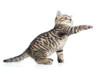 O gatinho escocês do gato malhado dá a pata e a vista acima Imagens de Stock Royalty Free
