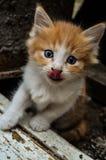 O gatinho lambe seu nariz imagens de stock royalty free