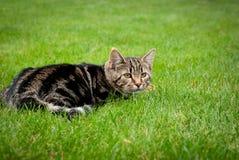 O gatinho listrado está caçando na grama fresca Fotos de Stock Royalty Free