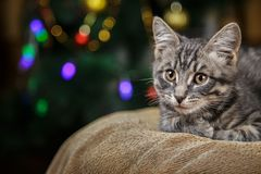 O gatinho listrado pequeno bonito encontra-se em um fundo festivo Imagem de Stock