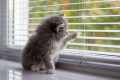 O gatinho macio do racum de Grey Persian Little Maine senta-se e as patas a janela da porta e espera-se o proprietário Gatinho re fotos de stock