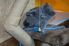 O gatinho macio pequeno é jogado na prateleira Fotos de Stock Royalty Free