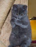 O gatinho macio pequeno é jogado na prateleira Imagens de Stock