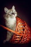 O gatinho novo bonito do disfarce de Neva da raça olha para fora dos vagabundos Fotografia de Stock Royalty Free