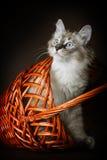 O gatinho novo bonito do disfarce de Neva da raça olha para fora dos vagabundos Fotografia de Stock
