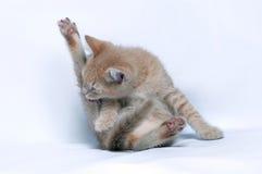O gatinho pequeno do gengibre vermelho lambe sua pata traseiro Imagens de Stock Royalty Free