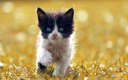 O gatinho preto e branco anda na grama amarela Fotografia de Stock