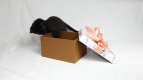 O gatinho preto engraçado joga com a curva cor-de-rosa na caixa dos presentes vídeos de arquivo