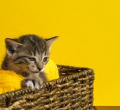 O gatinho senta-se em uma cesta com as bolas das lãs O bordado favorito é um passatempo fotos de stock
